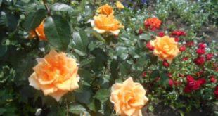 Влипецком зоопарке можно увидеть аристократические сорта роз