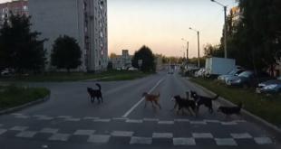 Дисциплинированная стая собак подождала, когда ее пропустит автомобиль (видео)