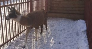 Ламу ибарана «запаковали» вящики в Липецке (видео)
