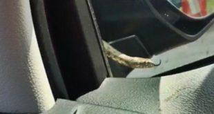 Змея уехала из Липецкой области в Москву под капотом авто